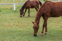 The brown Thai horses graze the grass in a farm. The brown Thai horses graze the grass in a farm in northern Thailand Royalty Free Stock Photography