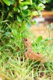 Brown thai lizard Stock Images