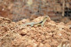 Brown thai lizard Royalty Free Stock Image