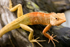 Brown thai lizard on the tree, reptile animal. Brown thai lizard on the tree stock images