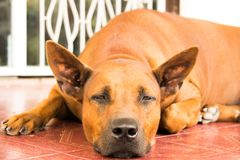 Brown Thai ridgeback dog Stock Image