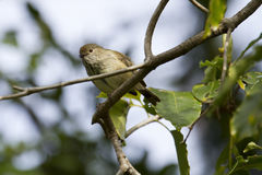 Brown Thornbill (Acanthiza Pusilla) Royalty Free Stock Image