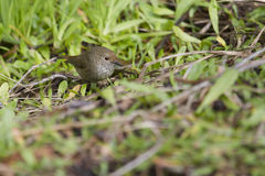Brown Thornbill (Acanthiza Pusilla) Stock Photo