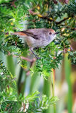 Brown Thornbill Royalty Free Stock Images