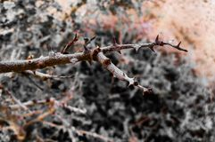 Brown Thorny Tree Branch Stock Photography