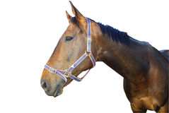 Brown thoroughbred horse isolated stock images