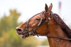Brown thoroughbred koń, końska głowa Zdjęcia Stock