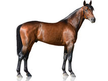 The brown thoroughbred stallion standing on white background. Side view stock photos