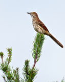 Brown Thrasher. Sitting in a Pine tree stock photo