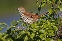 Brown Thrasher. (toxostoma refum) ptotecting it's nest in the undergrowth Royalty Free Stock Images