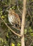 Brown Thrasher. A Brown Thrasher sitting in a tree in South Carolina Stock Image