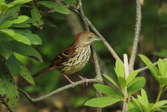 Brown Thrasher. Perched in rhododendron Royalty Free Stock Photos