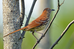 Brown Thrasher. Standing in a tree Stock Image
