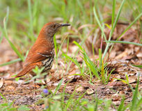 Brown Thrasher. In spring plumage Stock Images