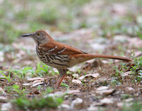 Brown Thrasher. In open environment Stock Photography