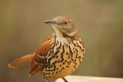 Brown Thrasher. Looking for meal Stock Photography