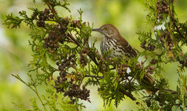 Brown Thrasher Stock Photos
