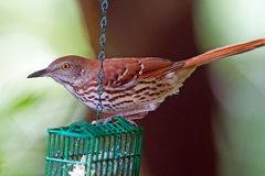 Brown Thrasher Royalty Free Stock Images