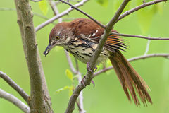 Brown Thrasher Fotos de Stock
