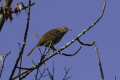 Brown Thrasher Photographie stock
