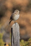 Brown Thrasher Foto de Stock