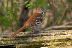 brown thrasher Obrazy Royalty Free