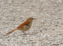 Brown Thrasher Royalty Free Stock Photo