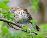 Brown Thrasher all'alba Fotografia Stock