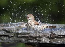 Brown Thrasher Bathing in Natural Stone Birdbath Stock Photo