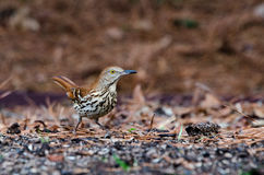 Brown Thrasher bird, Athens, Georgia. Brown Thrasher, Toxostoma rufum, backyard birding, Athens, Georgia State Bird stock photo