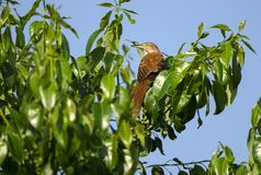 Brown Thrasher bird in Persimmon Tree, Athens, GA USA. Brown Thrasher, Toxostoma rufum, suns in a Persimmon Tree on a hot Georgia afternoon in May. Although not Royalty Free Stock Image