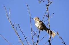 Brown Thrasher bird singing in a tree, Georgia USA. Brown Thrasher, Toxostoma rufum, a common songbird of the eastern United States, singing in a tree against a Stock Images