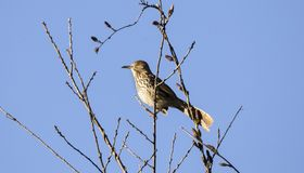 Brown Thrasher bird singing in a tree, Georgia USA. Brown Thrasher, Toxostoma rufum, a common songbird of the eastern United States, singing in a tree against a Stock Image