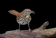 Brown Thrasher On Black Royalty Free Stock Photos
