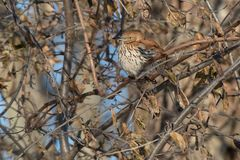 Brown Thrasher. Perched on a branch in a tangle of scrub Royalty Free Stock Images