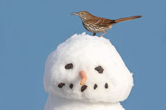 Brown Thrasher en un muñeco de nieve Imagen de archivo