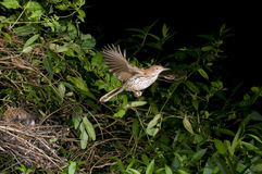 Brown thrasher flying out of the nest. stock photo
