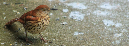 Brown Thrasher on ice Stock Photo