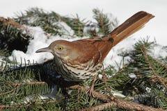 Brown Thrasher in inverno Fotografia Stock Libera da Diritti