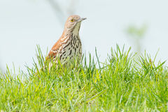 Brown Thrasher. Peeking up from the edge of a cliff Royalty Free Stock Photo