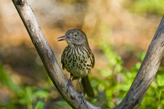 A brown thrasher perched. In a tree and calling Royalty Free Stock Images