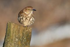 Brown Thrasher. Perched on a moldy fency post Royalty Free Stock Photography