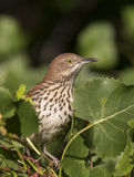 Brown Thrasher portrait Royalty Free Stock Photos