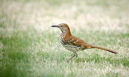 Brown Thrasher ptak, Ateny, Clarke okręg administracyjny, Gruzja usa obraz royalty free