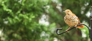 Brown Thrasher and rain. Adult Brown Thrasher perched on a bird stand after it rained Stock Photography