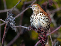 Brown Thrasher. Sitting in a tree with berries Stock Photos
