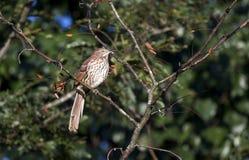 Brown Thrasher songbird, Georgia USA Royalty Free Stock Photography