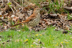 Brown Thrasher. Standing at the edge of the grass Stock Image