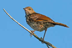 Brown Thrasher Royalty Free Stock Image