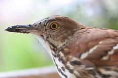 Brown Thrasher staring at you. Macro of Brown Thrasher focused on the eye with blurred background Stock Image